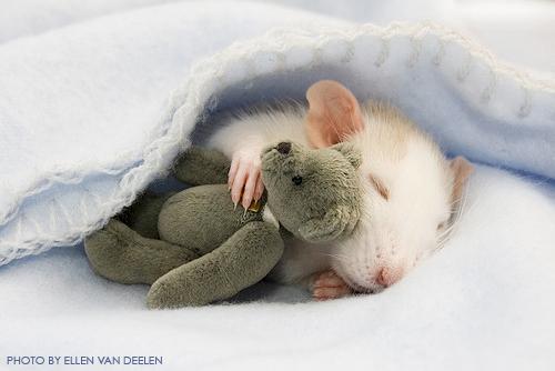 Ellen Van Deelen Rat with Teddy Bear